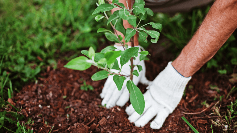 Gloved hands planting a tree.